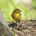 Palm Warbler from Garret Mountain (4570191199).jpg