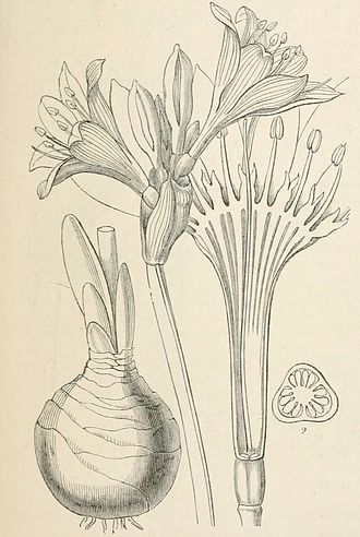 Asparagales - Amaryllidaceae: Narcisseae - Pancratium maritimum Linn. John Lindley, Vegetable Kingdom 1846