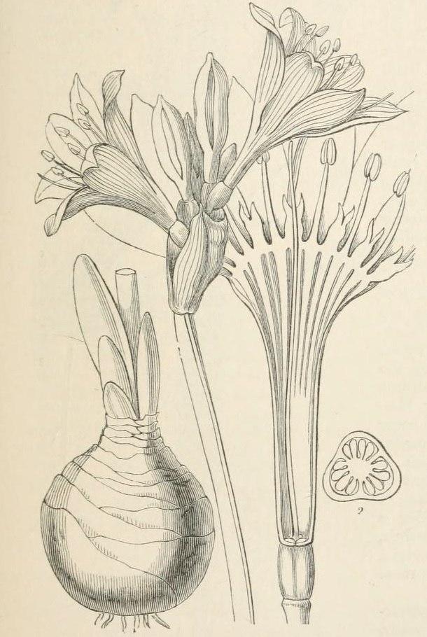 Pancratium maritimum Lindley