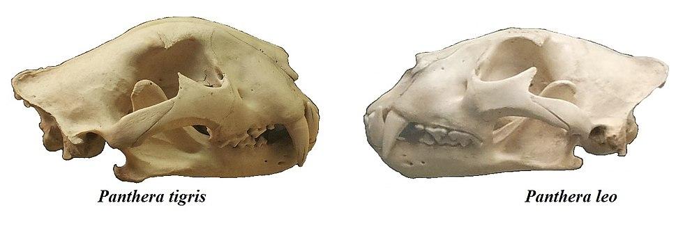 Panther tigris & Panthera leo skulls