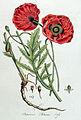 Papaver rhoeas — Flora Batava — Volume v4.jpg