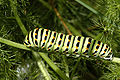 Papilio.machaon.caterpillar.jpg