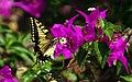Papilio machaon (KPFC) (03).jpg