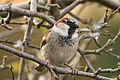 Passer domesticus -Leicestershire, England -male-8.jpg
