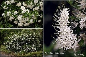 Pavetta - Image: Pavetta capensis 1