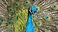 Peacock Spreads Feathers.jpg
