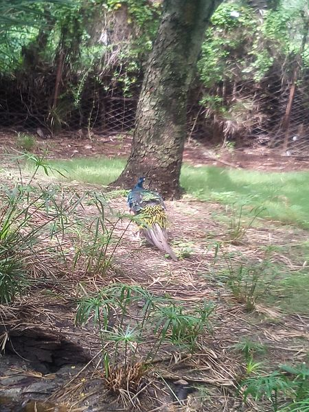 File:Peacock searching.jpg