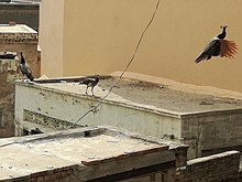 Peafowl is commonly seen flying house to house in Tharparkar, Sindh during mornings