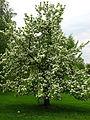 Pear Tree (Pyrus) 01.JPG