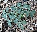 Pediomelum megalanthum var retrorsum 4.jpg