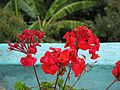 Pelargonium red flower.jpg