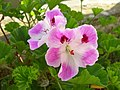 Pelargoniumxdomesticum.JPG
