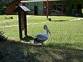 Pelican Divjaka.jpg