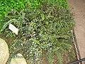 Pellaea rotundifolia - Berlin Botanical Garden - IMG 8761.JPG
