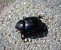 Pentadon sp. (Scarabaeidae - Dynastinae) (44634521111).jpg