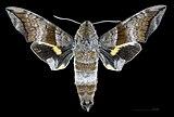 Perigonia lusca lusca MHNT CUT 2010 0 132 Parque Nacional Henri Pitter (Rancho Grande), Venezuela male dorsal.jpg