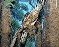 Pernis ptilorhynchus 10zz.jpg
