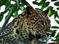 Persian Leopard (Panthera pardus saxicolor).jpg