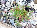 Persicaria maculosa 01.jpg