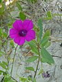 Petunia littoralis 4.jpg