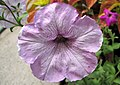 Petunia sp. (south of Sioux City, Iowa, USA) 1 (27752473564).jpg