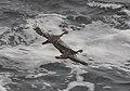 Phalacrocorax gaimardi 04.jpg
