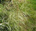 Phalaris arundinacea1 ies.jpg