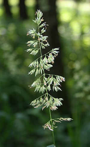 Phalaris arundinacea - Image: Phalaris arundinacea 1