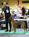Pharaoh Hound in Riga 1.JPG