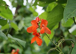 Phaseolus coccineus by Danny S. - 002.JPG