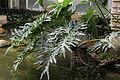 Philodendron bipinnatifidum - South China Botanical Garden 2013.11.02 11-54-27.jpg