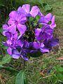 Phlox paniculata Tatjana20140704 019.jpg