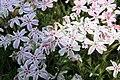 Phlox subulata Candy Stripe 7zz.jpg