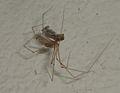 Pholcus phalangioides eating wasp 6.jpg