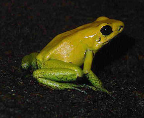 Description de l'image Phyllobates bicolor frog on soil.jpg.