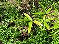 Phyllostachys nigra var henonis2.jpg