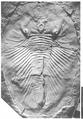Phytophilaspis holotype.png