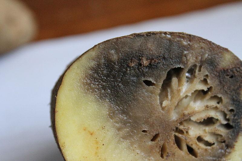 File:Phytophthora infestans 5613.JPG