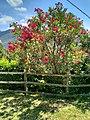 Piante colorate trovate sul percorso verso la chiesa di San Michele nel Parco del Monte Barro.jpg