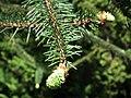 Picea Engelmanii in lodz Palm House.jpg