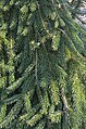 Picea abies 'Frohburg' (2008-087-A).jpg
