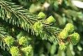 Picea abies Pendula 0zz.jpg