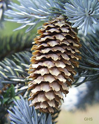 Spruce - P. pungens cone and foliage