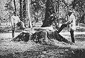 Pień ściętego dębu w Puszczy Białowieskiej przed 1903.jpg