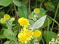 Pieris butterfly, Haldon Forest Park - geograph.org.uk - 1429600.jpg