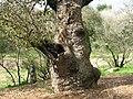 PikiWiki Israel 7360 oak tree in tivon.JPG