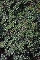 Pilea crassifolia IMG 0876.jpg