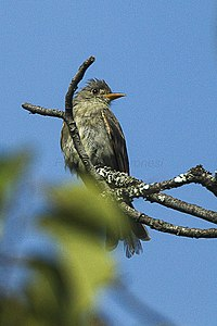 Pileated Flycatcher - Mexico S4E9492 (16251012834).jpg