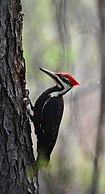 Pileated woodpecker (23442858813).jpg