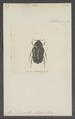 Pilinurgus - Print - Iconographia Zoologica - Special Collections University of Amsterdam - UBAINV0274 022 07 0007.tif